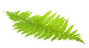 Grön fernleaf Arkivfoton