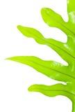 Grön fernleaf på en vit bakgrund Royaltyfri Foto