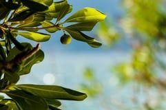 Grön fikonträd på ett träd Arkivbild