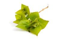Grön filial. Fotografering för Bildbyråer