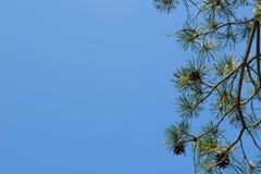 Grön filial av gran på bakgrunden av blå himmel mot bakgrund field bl?a oklarheter f?r gr?n vitt wispy natursky f?r gr?s fotografering för bildbyråer