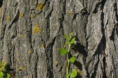 Grön filial av murgrönan som växer på trädstammen Royaltyfria Bilder