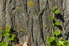 Grön filial av murgrönan som växer på trädstammen Arkivfoton
