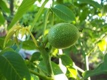 Grön filial med fruktvalnötter på en grön bakgrund Fotografering för Bildbyråer