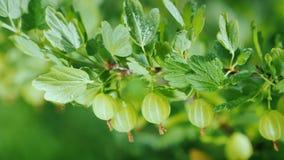Grön filial med krusbärbär Royaltyfria Foton