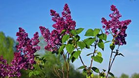 Grön filial med rosa lilablommor för vår stock video