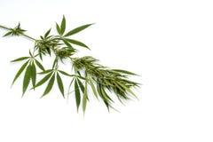 Grön filialcannabis med fem fingrar sidor, marijuanaisolator royaltyfri foto