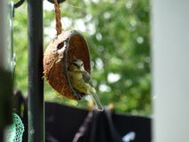 Grön Finch Royaltyfria Bilder