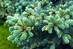 Grön fir-tree Arkivfoto