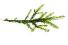 Grön fir-treefilial på white Arkivbild