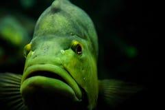 Grön fisk royaltyfri bild