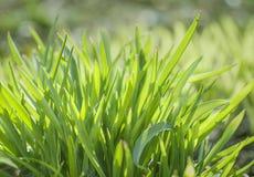 grön fjäder för gräs Royaltyfri Foto