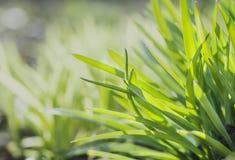 grön fjäder för gräs Fotografering för Bildbyråer