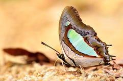 Grön fjäril royaltyfria foton