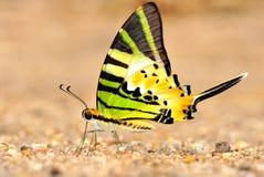 Grön fjäril royaltyfria bilder