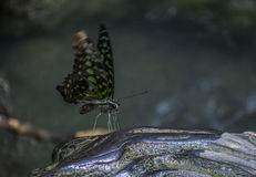 Grön fjäril Arkivbilder