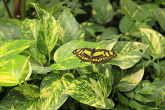 Grön fjäril arkivfoto