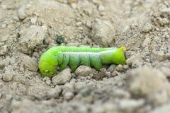 Grön fjärilslarv Arkivbilder