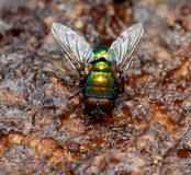 Grön fluga - Chrysomya albiceps Royaltyfri Bild