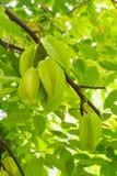Grön frukt för stjärnaäpple Arkivfoton