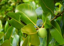Grön frukt och sidor av mangroveträdet royaltyfria bilder