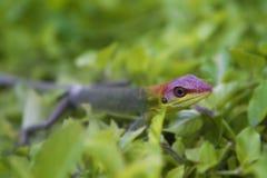 Grön gecko arkivfoton