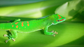 Grön gecko Royaltyfri Foto
