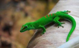 Grön gecko royaltyfria foton