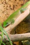 Grön gecko fullständigt Arkivfoto