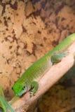 Grön gecko ner Arkivbilder