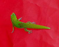 Grön gecko på en röd bakgrund 2 Arkivfoto