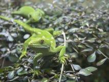 Grön gecko på växtmakro Royaltyfri Bild