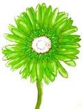 Grön gerbera på vit Arkivfoto