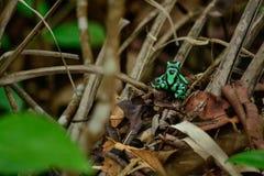 Grön giftig groda royaltyfria foton