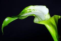 Grön Gordes Calla lilly över svart bakgrund Fotografering för Bildbyråer