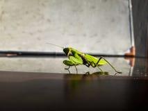 Grön gräshoppa royaltyfri fotografi