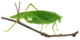 Grön gräshoppa Arkivbilder