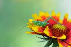 Grön gräshoppa Royaltyfri Bild