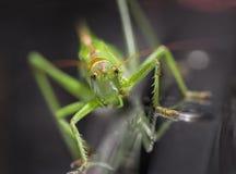 Grön gräshoppa Arkivbild