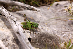 Grön gräshoppa Royaltyfri Foto