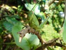 Grön gräshoppa Fotografering för Bildbyråer