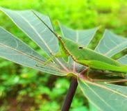 Grön gräshoppa Royaltyfria Foton