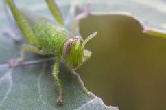 Grön gräshoppa på bladet, Arkivfoto