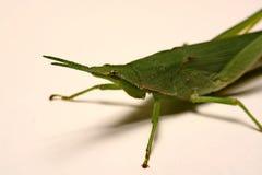 Grön gräshoppa på en vit bakgrund Arkivbild