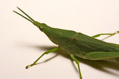 Grön gräshoppa på en vit bakgrund Royaltyfri Foto