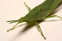 Grön gräshoppa på en vit bakgrund Royaltyfri Bild