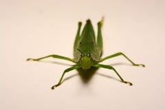 Grön gräshoppa på en vit bakgrund Royaltyfria Foton