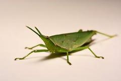 Grön gräshoppa på en vit bakgrund Fotografering för Bildbyråer