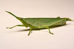 Grön gräshoppa på en vit bakgrund Arkivfoton