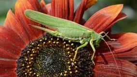 Grön gräshoppa på solrosblomningen stock video